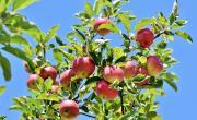 Image illustrant Fête de la Pomme et de la Nature